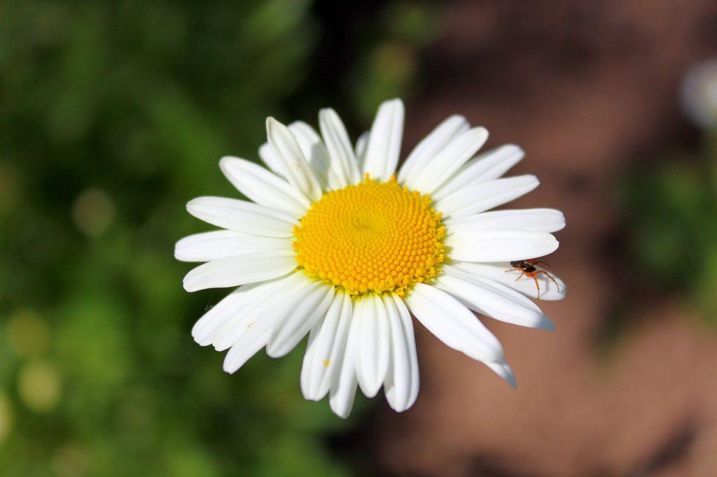 百人一首29番 「心当てに 折らばや折らむ 初霜の おきまどはせる 白菊の花」の意味と現代語訳