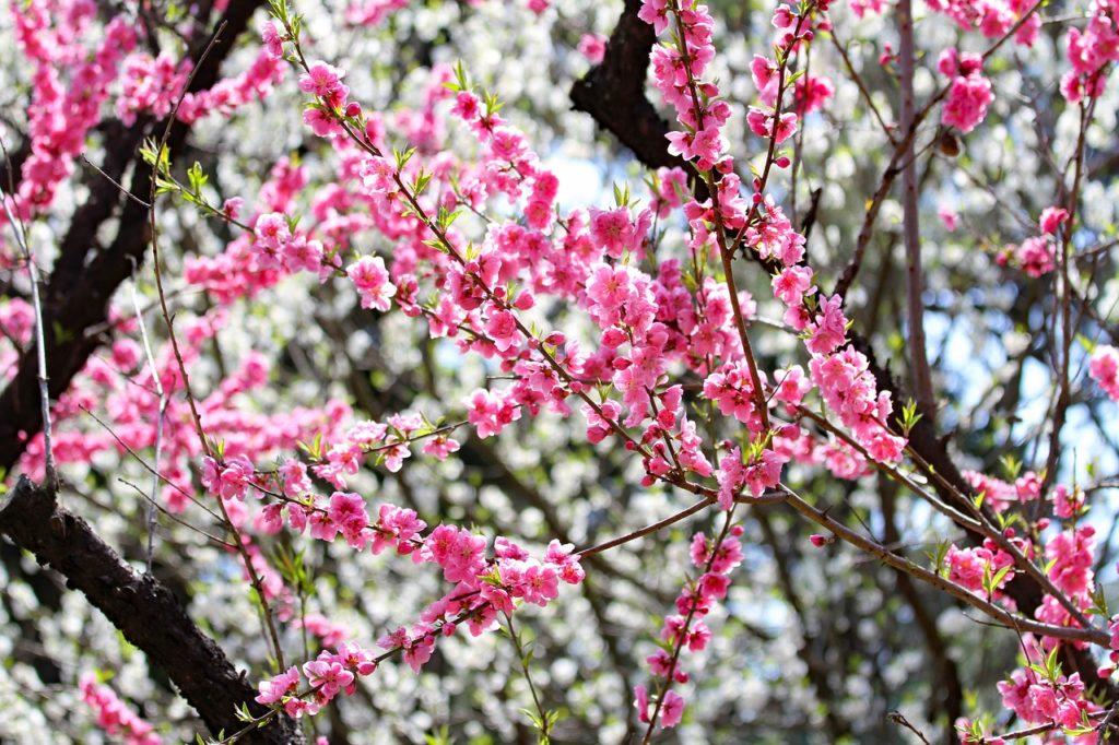百人一首35番 「人はいさ 心も知らず ふるさとは 花ぞ昔の 香に匂ひける」の意味と現代語訳