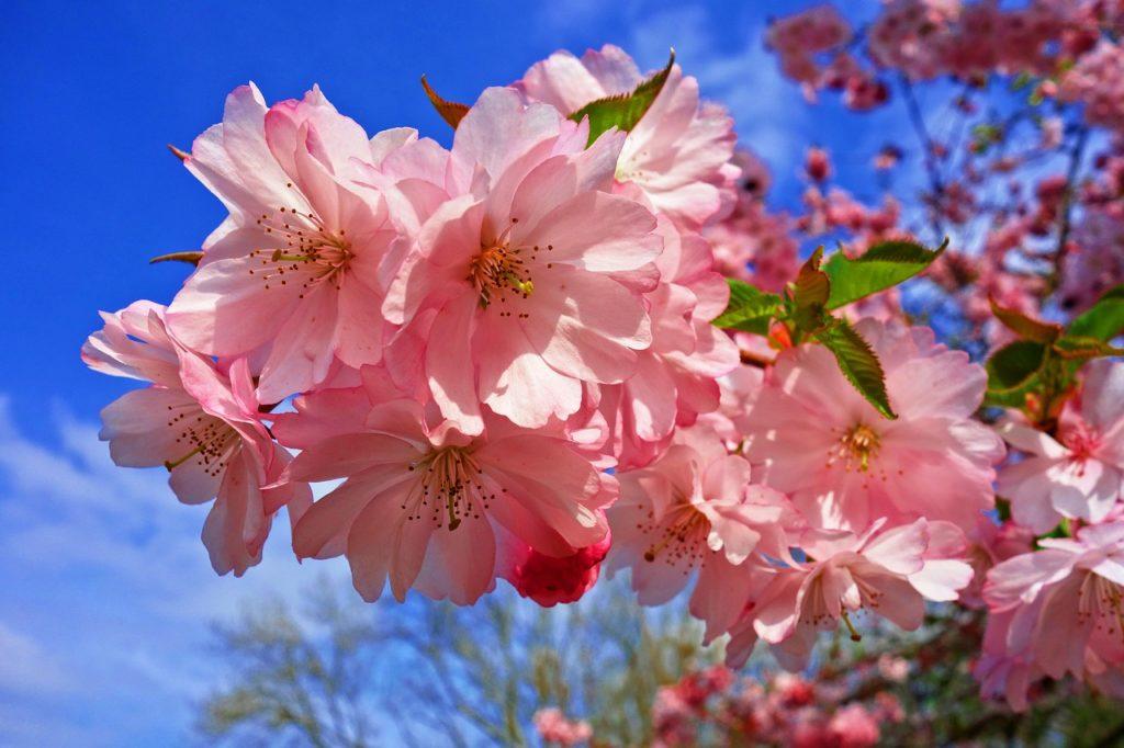 百人一首61番 「いにしへの 奈良の都の 八重桜 けふ九重に 匂ひぬるかな」の意味と現代語訳