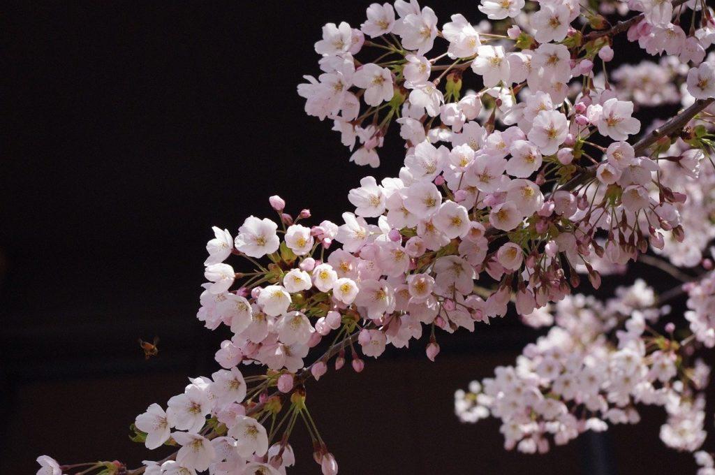 百人一首66番 「もろともに あはれと思へ 山桜 花よりほかに 知る人もなし」の意味と現代語訳