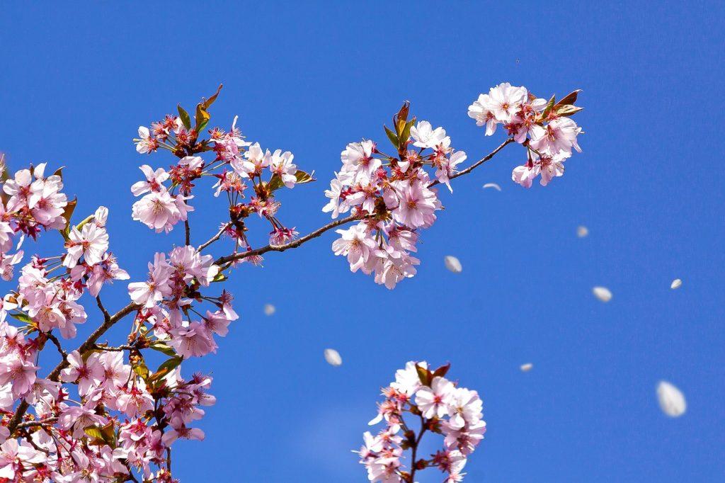 百人一首96番 「花さそふ 嵐の庭の 雪ならで ふりゆくものは わが身なりけり」の意味と現代語訳